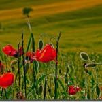"""""""In Flanders Fields,"""" read by Leonard Cohen"""