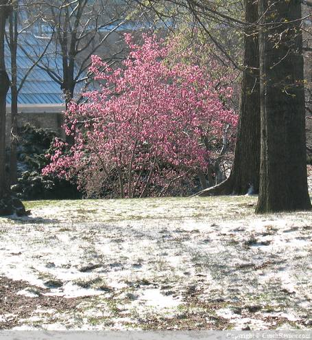 Blossoms and snow in Central Park