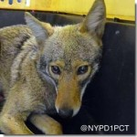 Coyote Caught in Battery Park City, New York