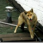 Coyotes Now Colonizing Rooftops in Queens (and Why They Should Be Put on the LIRR)